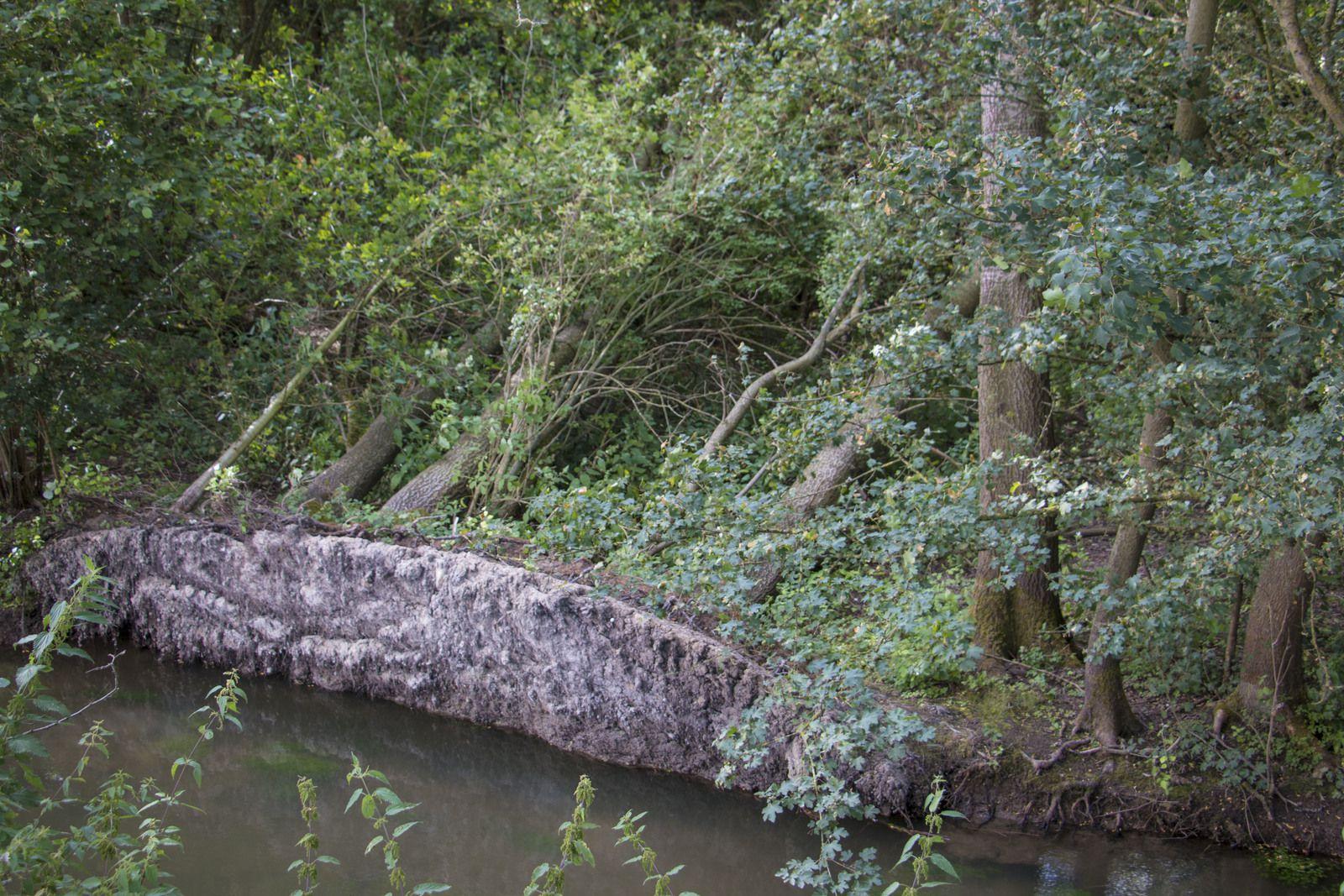 Ici les arbres en tombant ont emporté une partie de la berge de la Somme qui coule en contre bas de la rigole..
