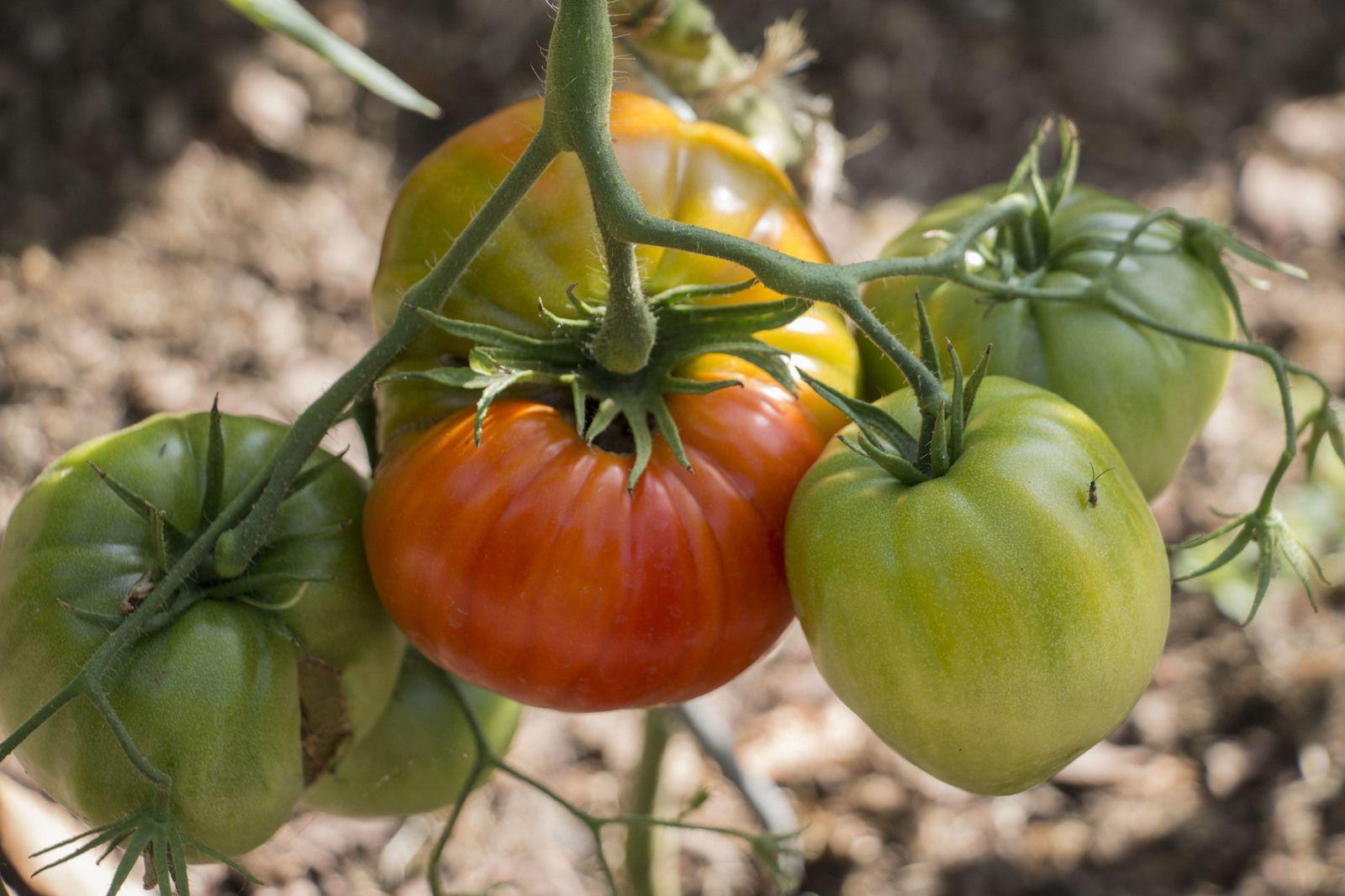 Utiliser le purin d'ortie sur les tomates revient à apporter à la fois une fertilisation aux plants et un amendement au sol.