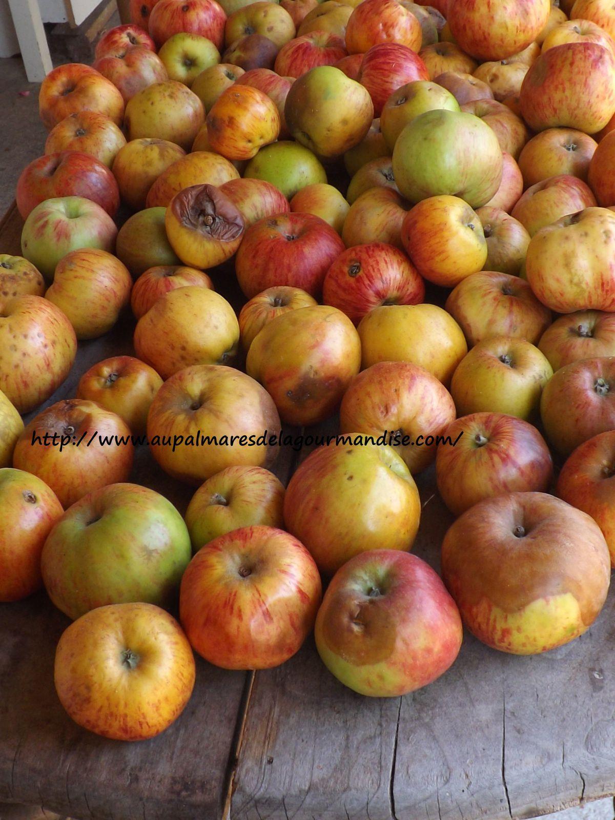 Ceuillette des pommes chez Mado