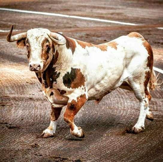 Atrevido nº70, 540kg, ganadería de Alcurrucén.
