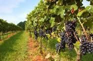 Vineyard in North Carolina