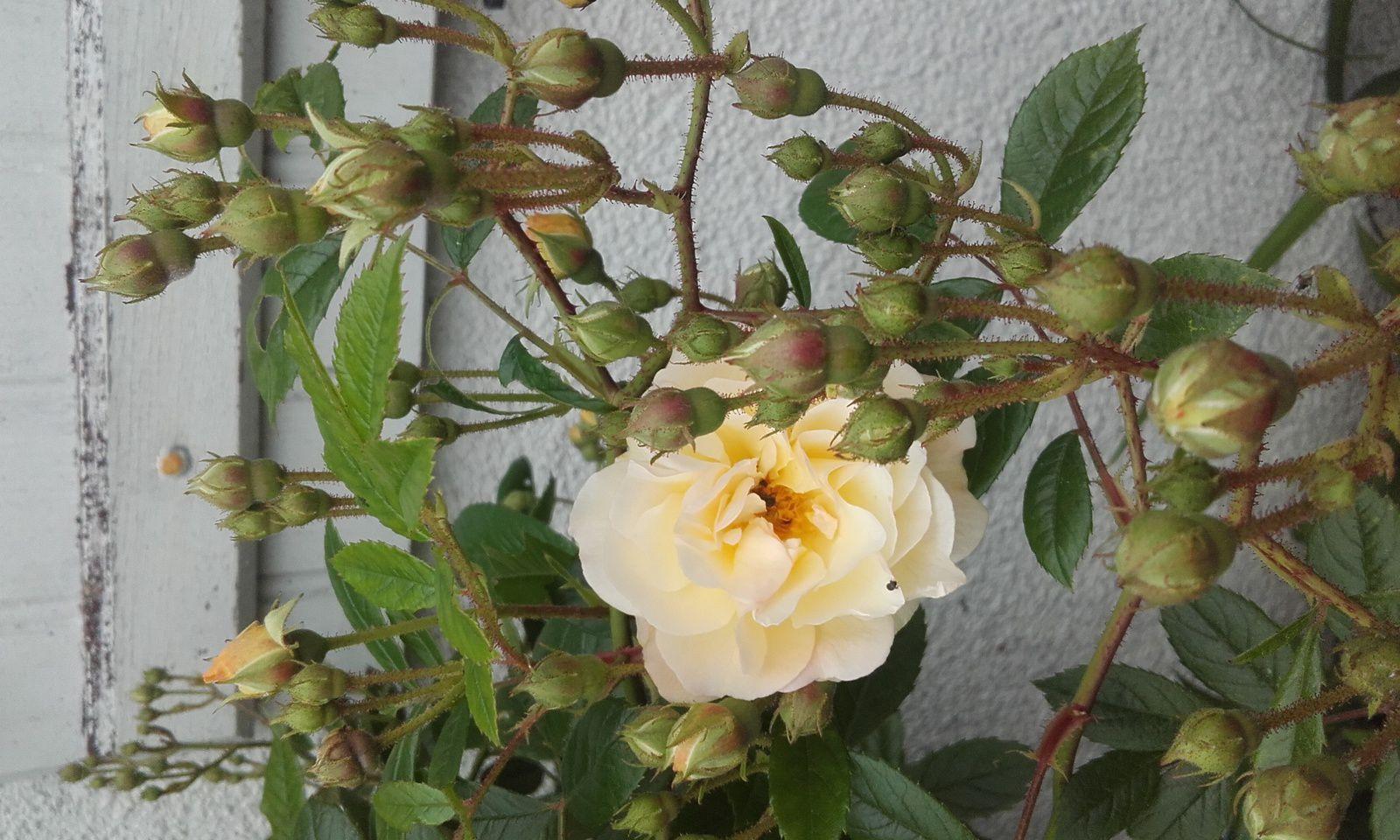Rétrospective 2016: les Roses !