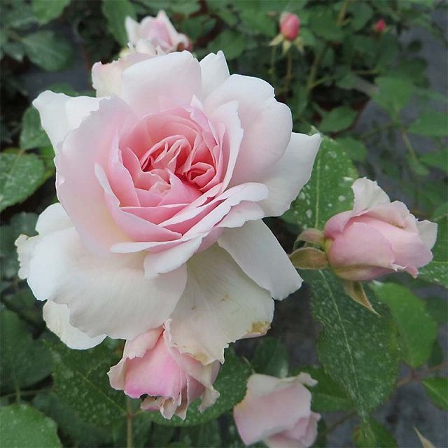 Retour du jardinier et nouveaux rosiers !