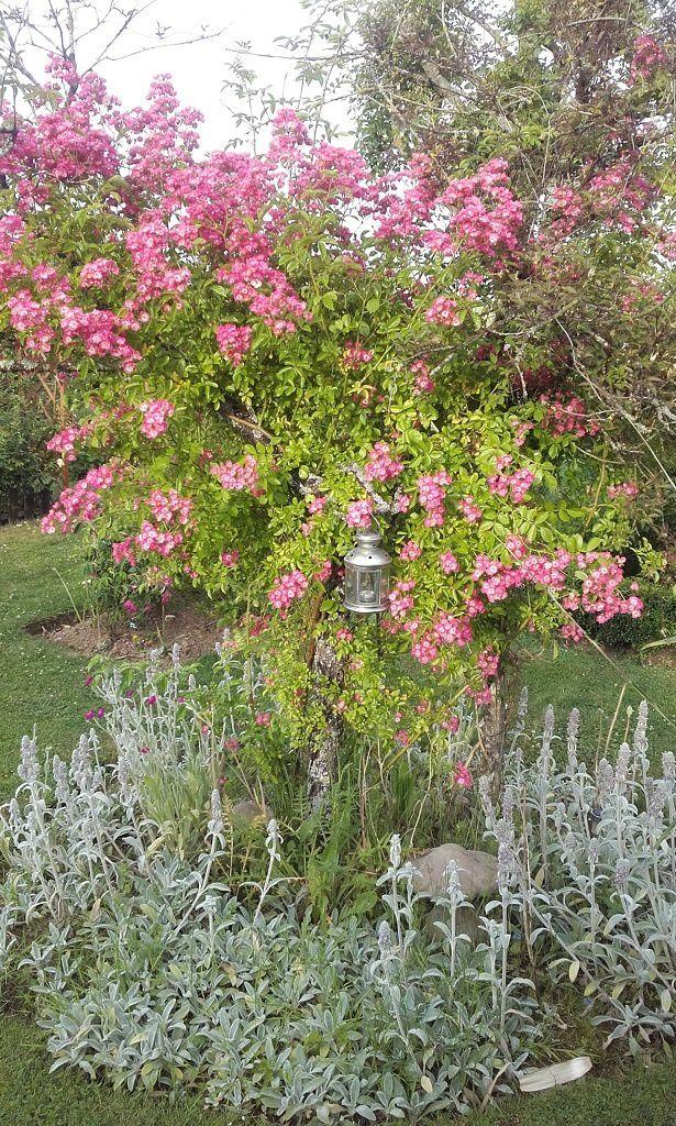 Le pétillant rosier liane 'Maria Lisa' et la douceur du Lychnis (Oreilles d'ours)