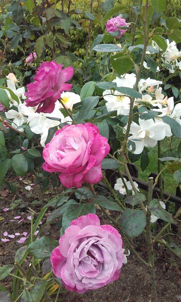 Spécial Roses !