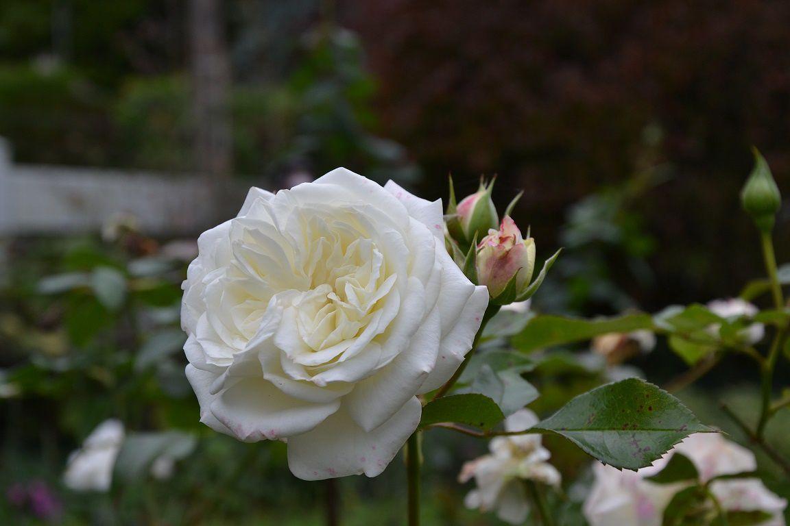 Automne rose