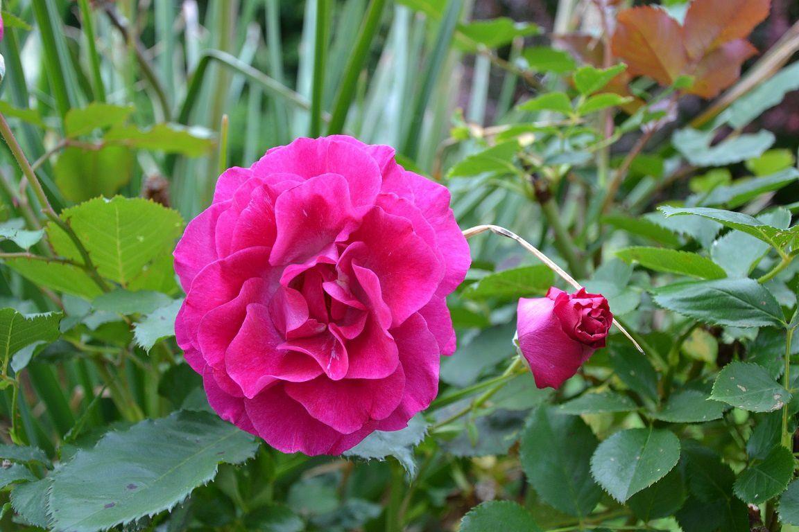 'Violette parfumée'