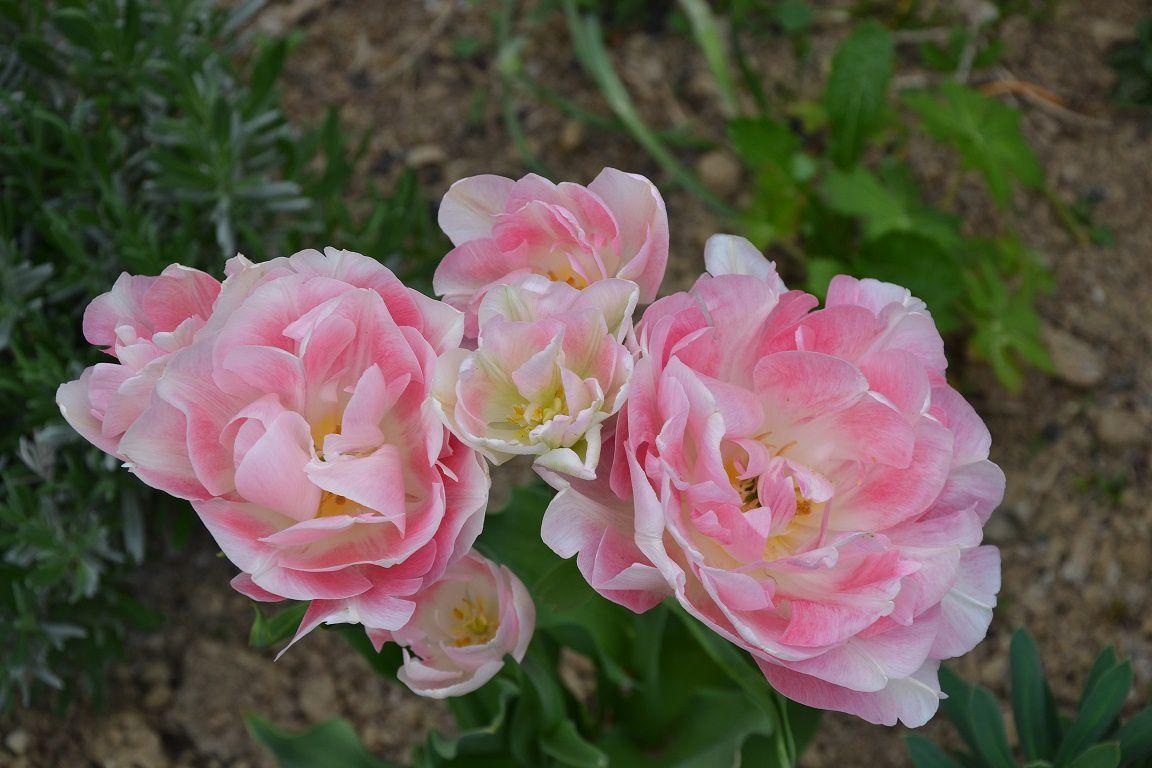 Le festival des tulipes !