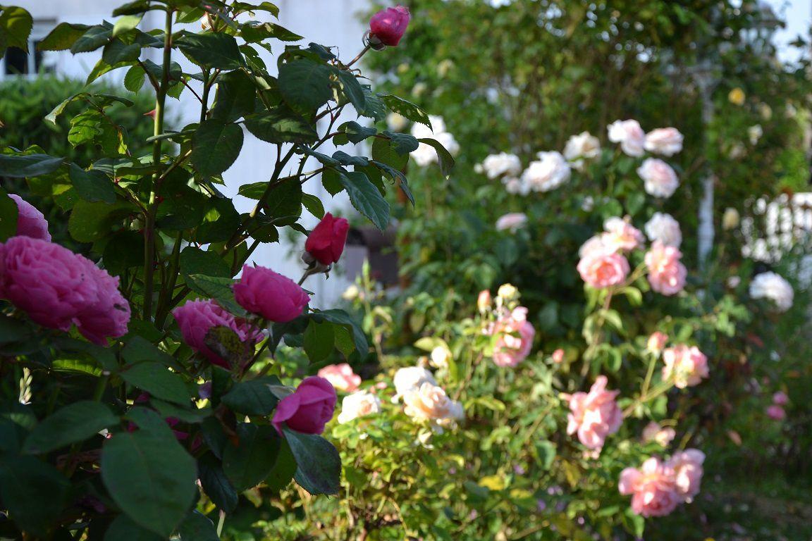 'Line Renaud' et 'Rose de Rescht'