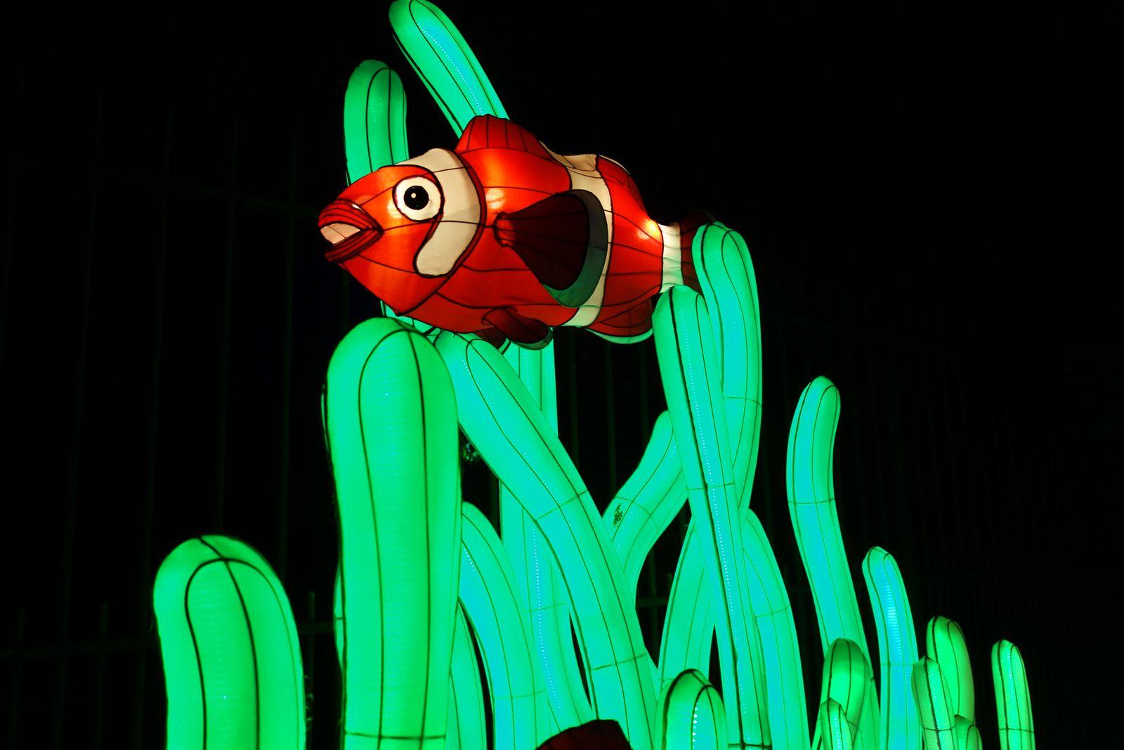 LE POISSON CLOWN à trois bandes. lI apprécie les récifs coralliens et les lagons abrités jusqu'à une profondeur de 15m. Il peut vivre en association avec trois espèces d'anémones. Ils se nourrit d'algues et de petits crustacés.