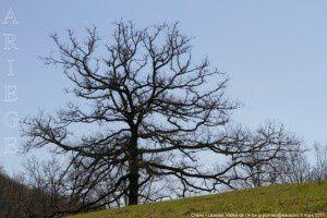 Chêne - Lézères