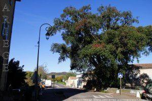 Mirepoix - Le chêne vert