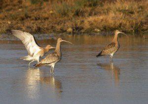 Courlis cendrés - Le Domaine des Oiseaux - Janvier 2011