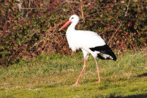 Cigogne blanche - Le Domaine des Oiseaux - Février  2011