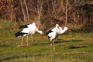 Cigognes blanches - Le Domaine des Oiseaux - Février  2011