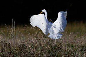 Grande aigrette - Domaine des Oiseaux -  Octobre 2013