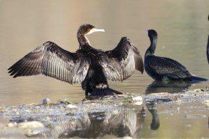 Grands cormorans - Domaine des Oiseaux -  Décembre 2013