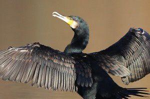 Grand cormoran - Domaine des Oiseaux -  Décembre 2013