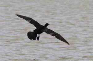 Grand cormoran - Domaine des Oiseaux -  Novembre 2013