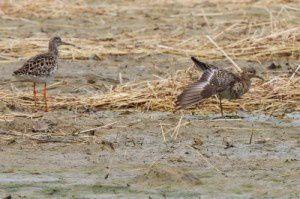Combattants variés - Le Domaine des Oiseaux - Mars  2014