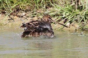 Bécassine des marais - Domaine des Oiseaux -  Septembre 2014