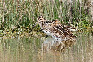 Bécassines des marais - Domaine des Oiseaux -  Mars 2014
