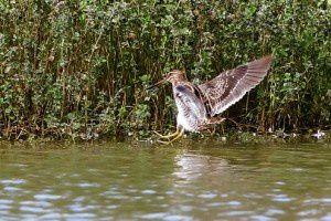 Bécassine des marais - Domaine des Oiseaux -  Octobre 2013