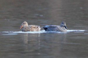 Canards chipeau - Lac de Labarre - Février 2015
