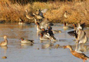 Sarcelles d'hiver - Le Domaine des Oiseaux - Janvier 2011