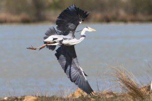 Héron cendré - Domaine des Oiseaux - Avril 2015