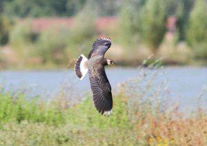 Vanneau huppé - Le Domaine des Oiseaux - Avril 2010
