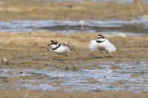 Petit gravelot - Domaine des Oiseaux -  Mars 2014
