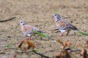 Tourterelles des bois - Domaine des Oiseaux -  Juillet 2014