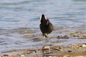 Gallinule poule d'eau - Le Domaine des Oiseaux - Décembre 2013