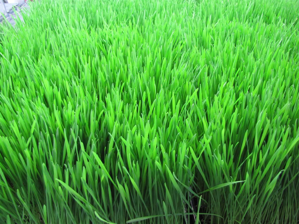 L'herbe fraiche qui sort du sol est symbole d'un peuple nouveau qui naitra apres la guerre!!!