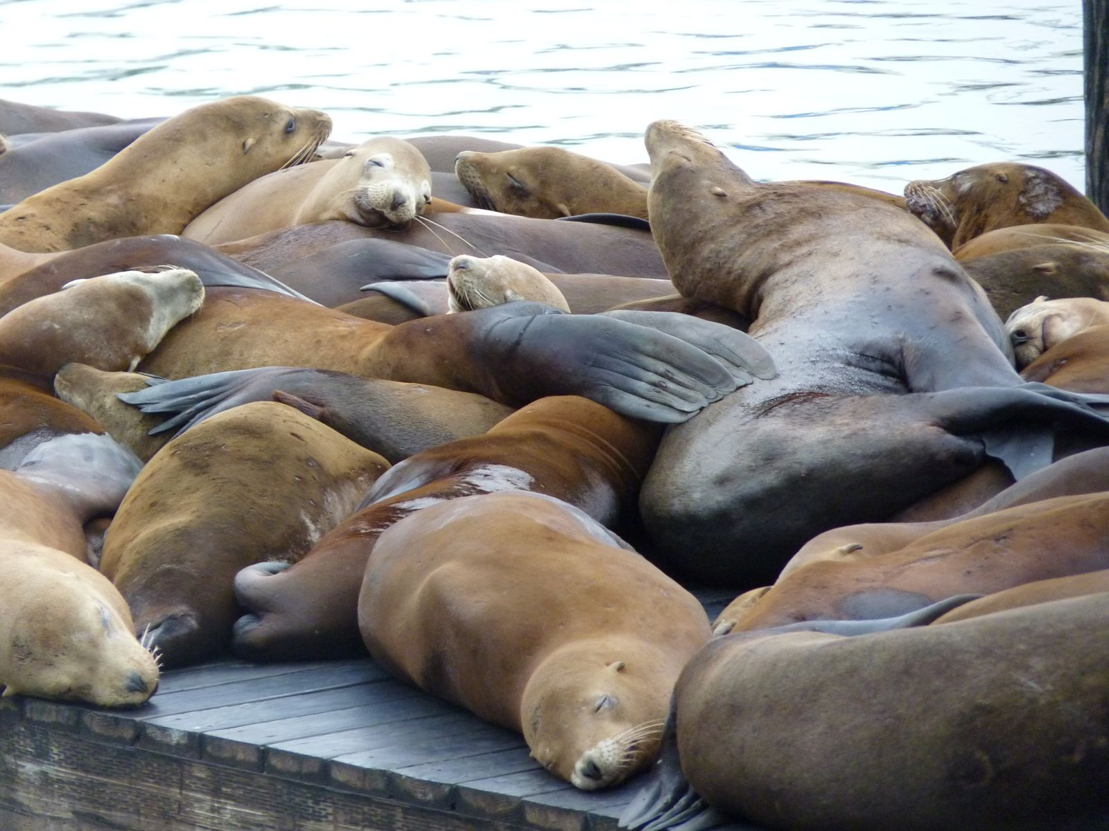 Des cris et des ronflements, l'attraction vedette de Fisherman's Wharf !