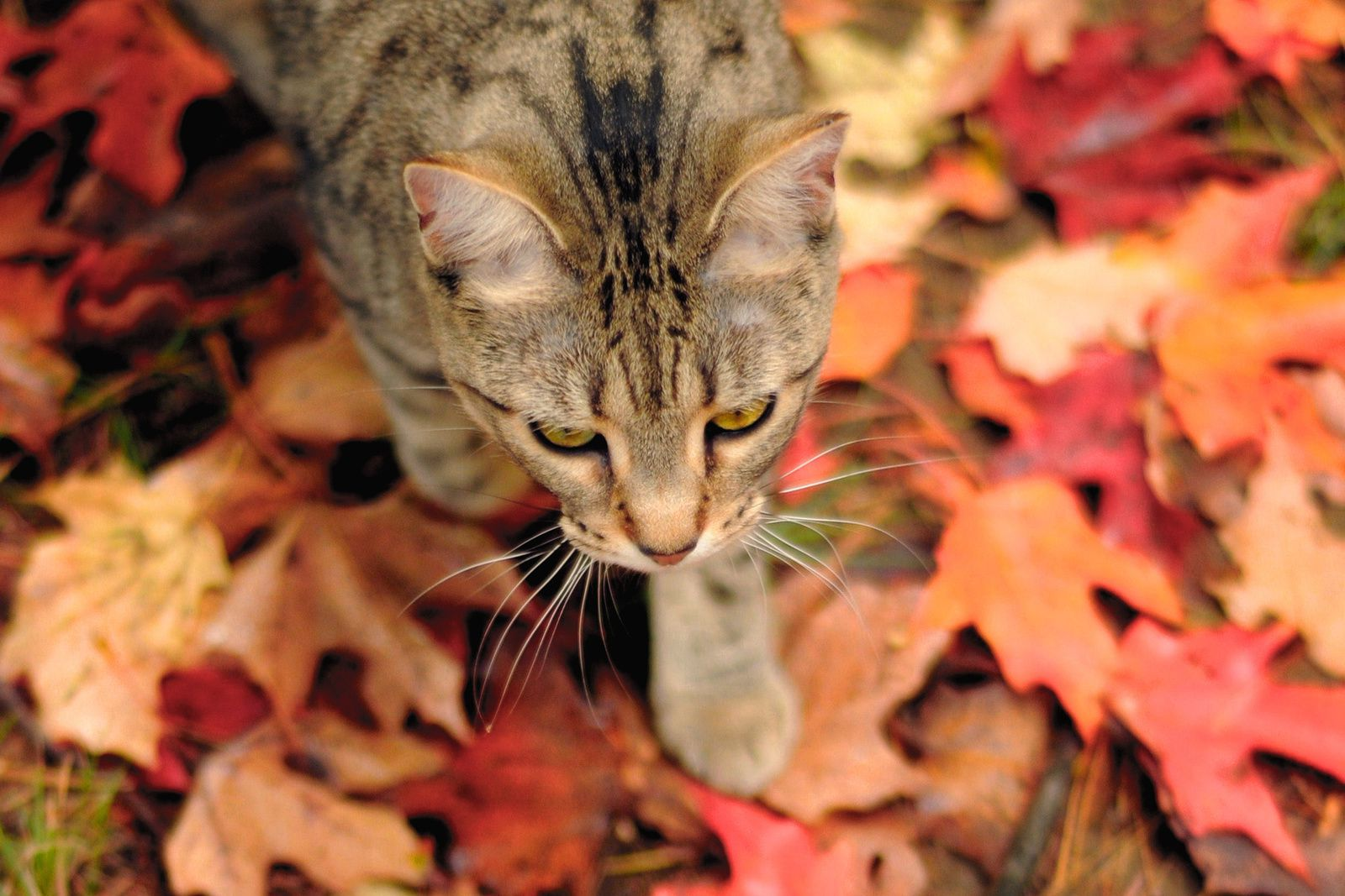 Automne chat