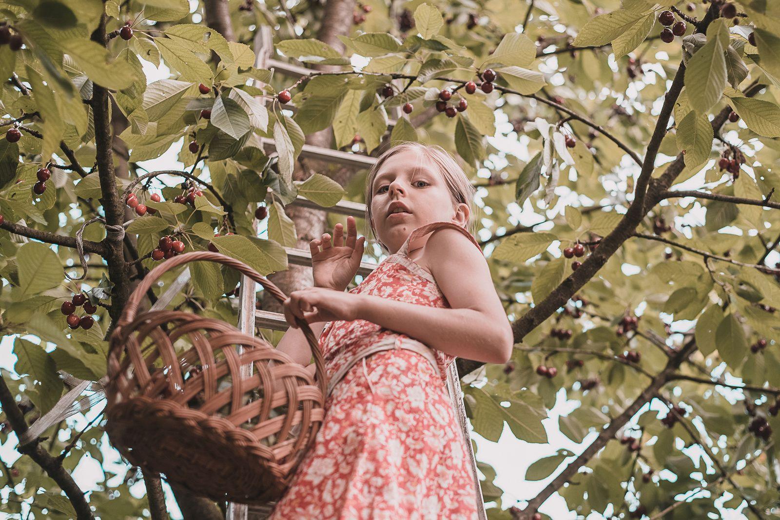 Séance photo cueillette de cerises en Normandie
