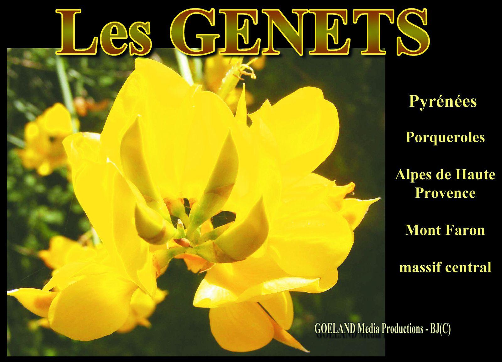 LES GENETS - Arbustes résistants dont les FLEURS ENSOLEILLENT LES CÔTEAUX !