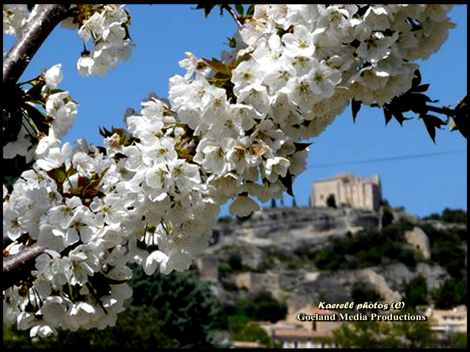 Cerisiers du Blayeul - Alpes de Haute Provence