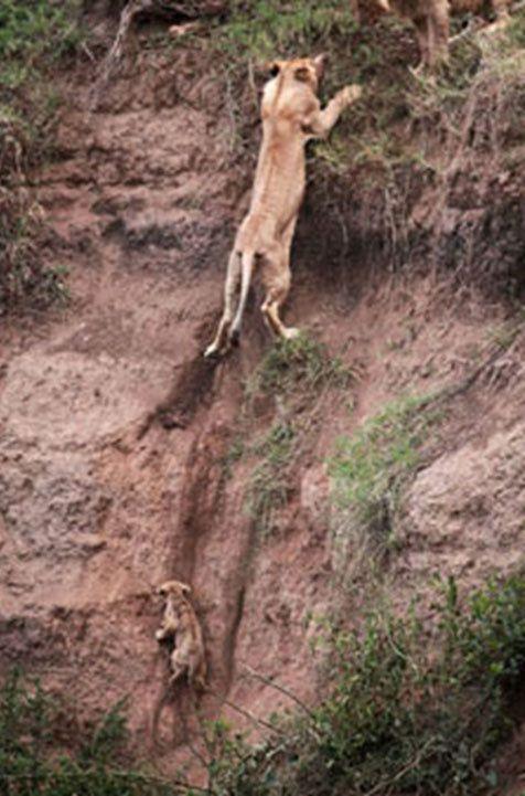 Amour maternel : une lionne sauve son petit