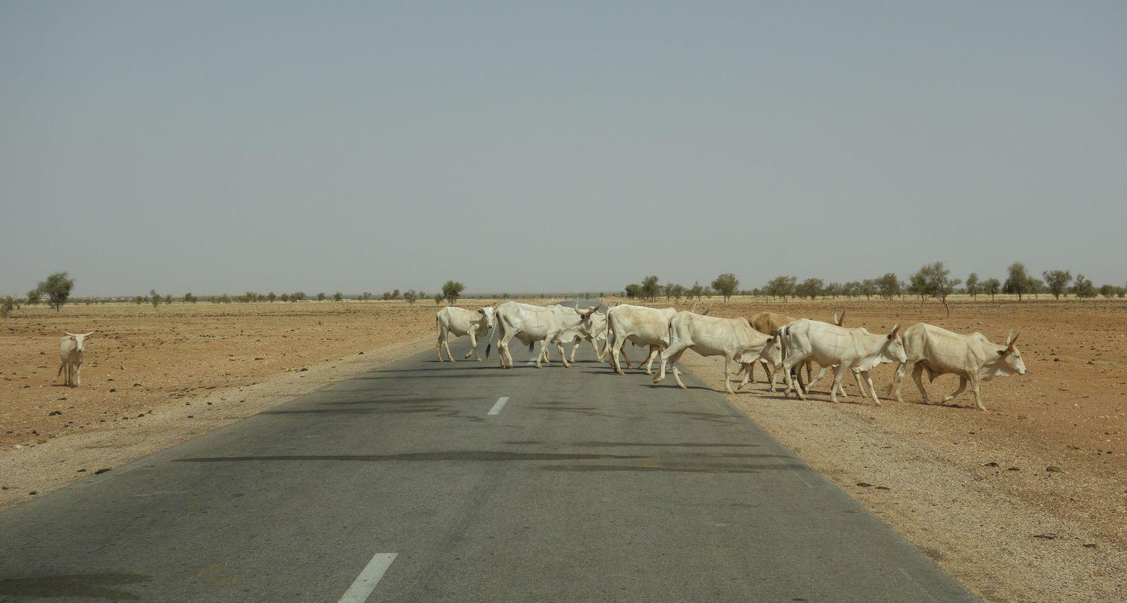 Passage de troupeaux, sur la route entre Gorgol et Guidimakha, deux régions du sud de la Mauritanie.