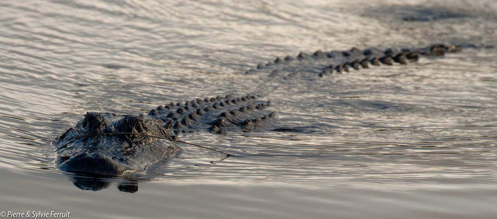 Alligator - Everglades National Park - Florida