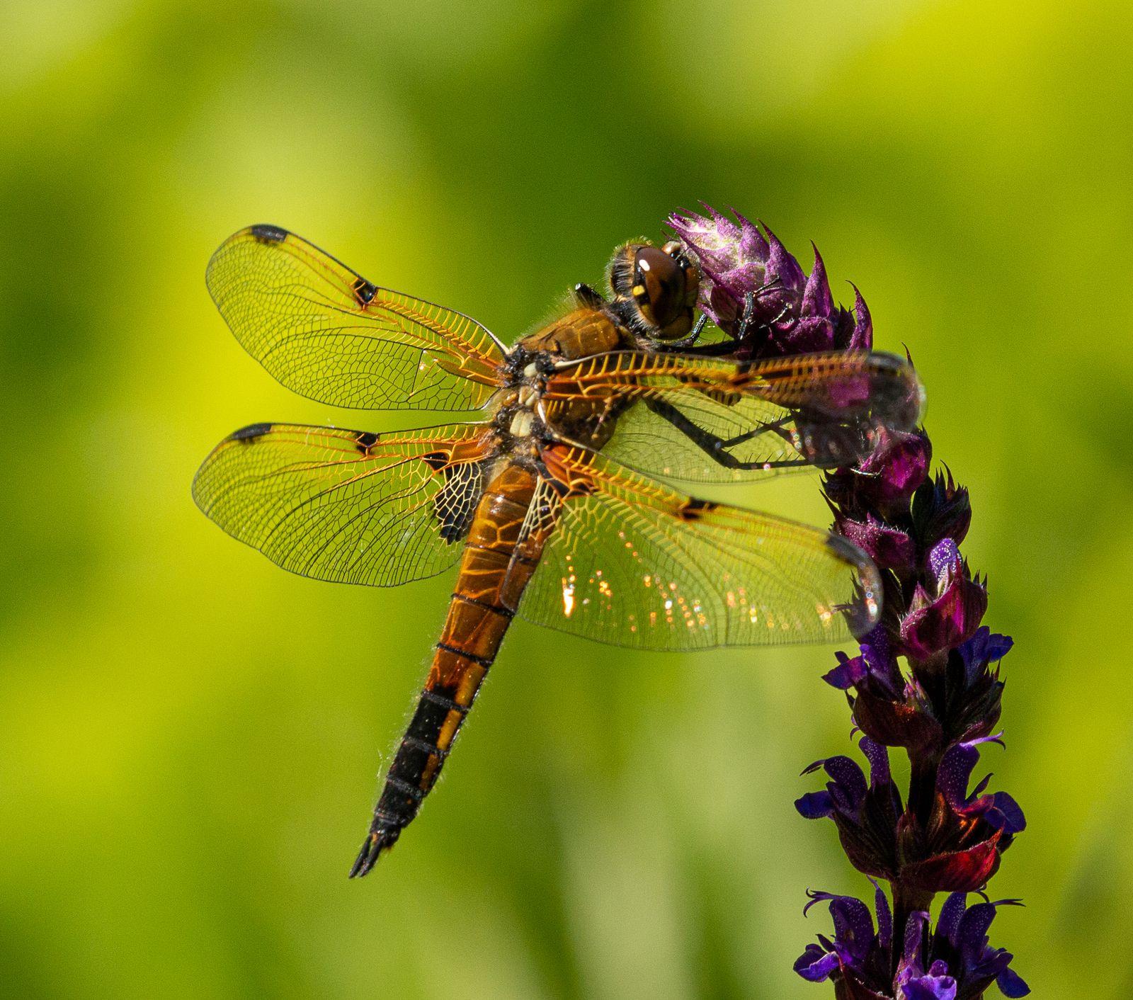 Libellule à quatre taches - Four-spotted Chaser - [Libellula quadrimaculata)]