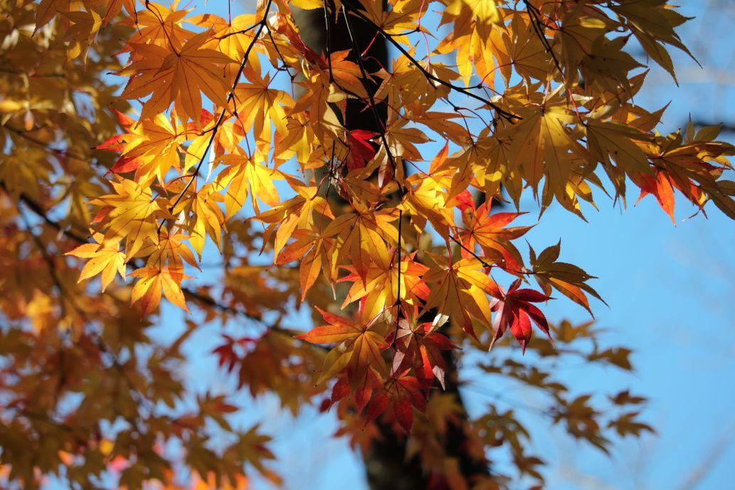 L'automne  au temple Jôkô-ji