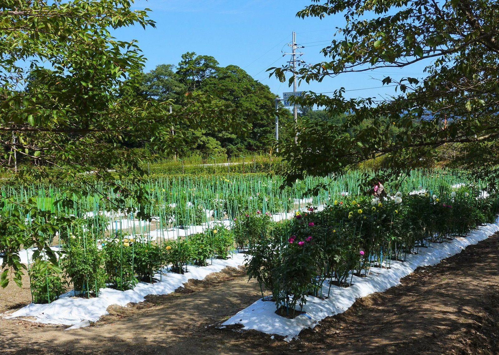 Hino, le paradis des dahlias