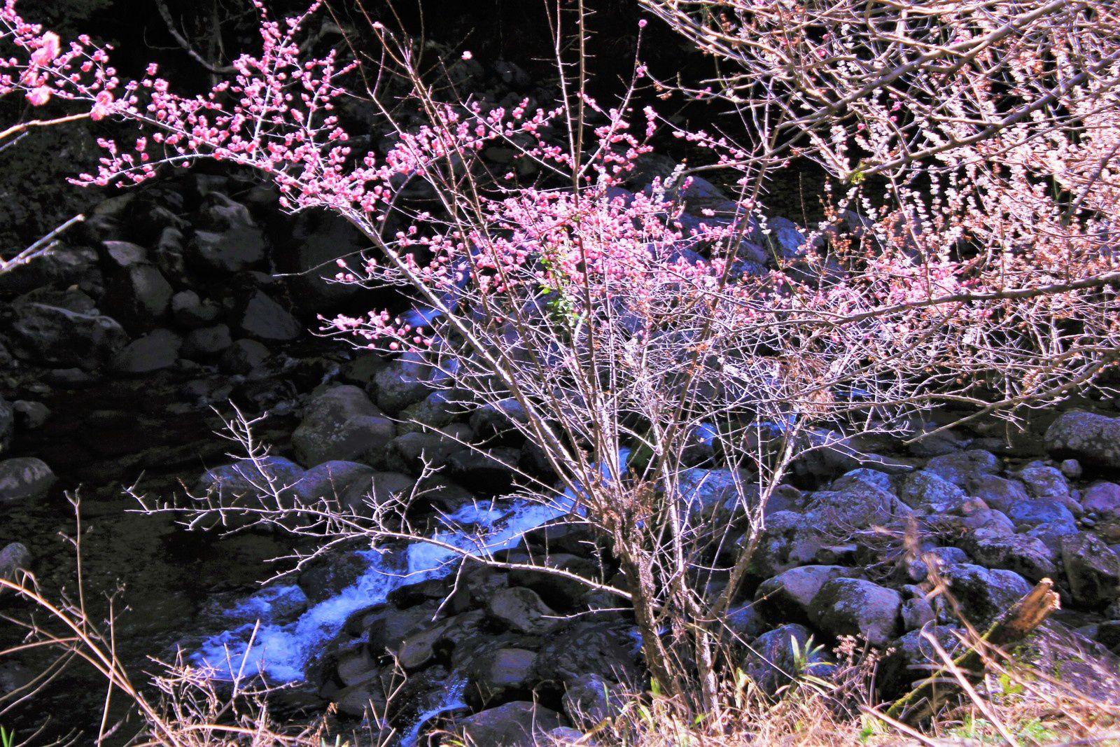 Au revoir, jolies fleurs d'abricotiers!