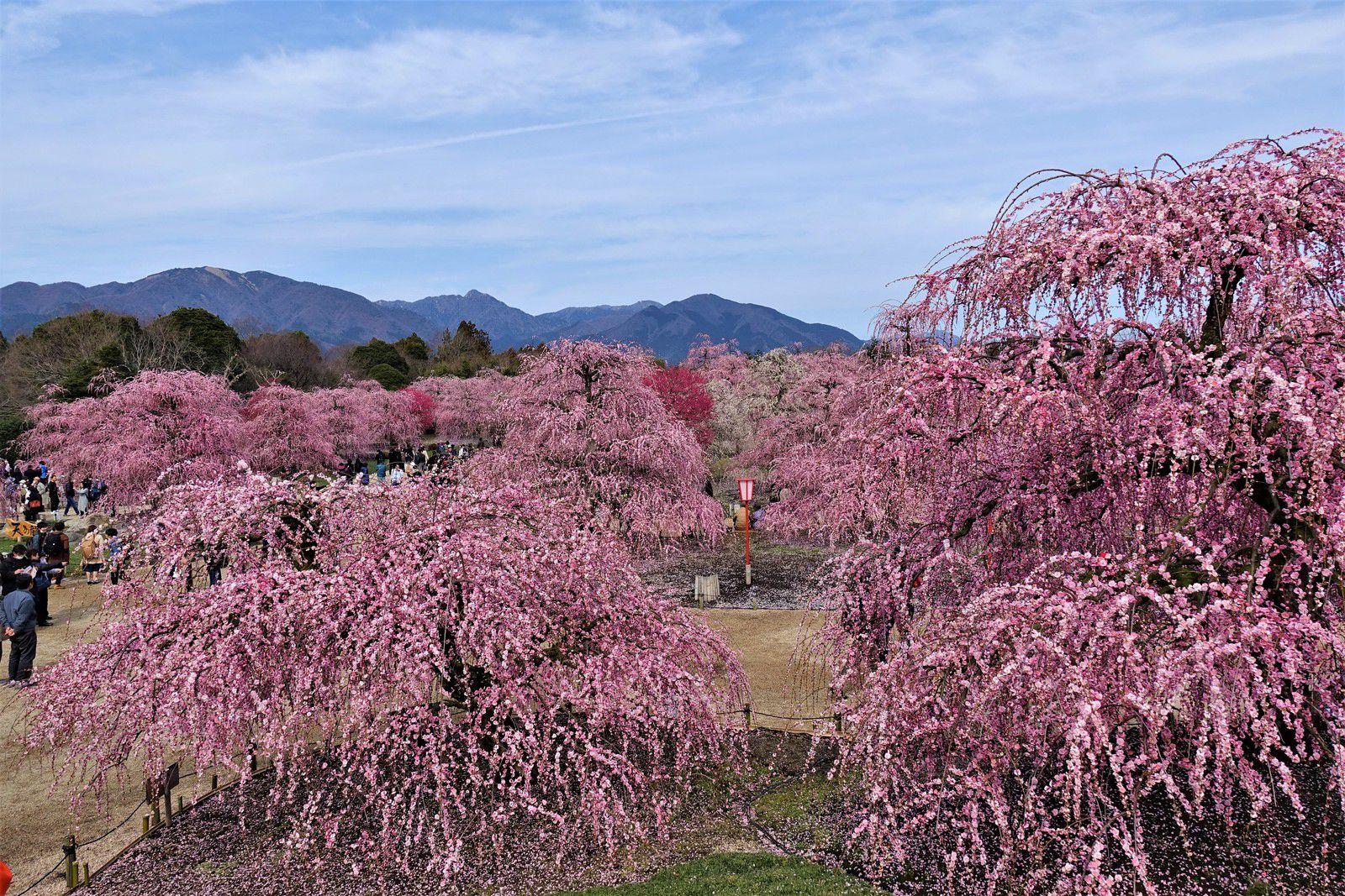 Festival des pruniers 2020 : Suzuka Forest Garden