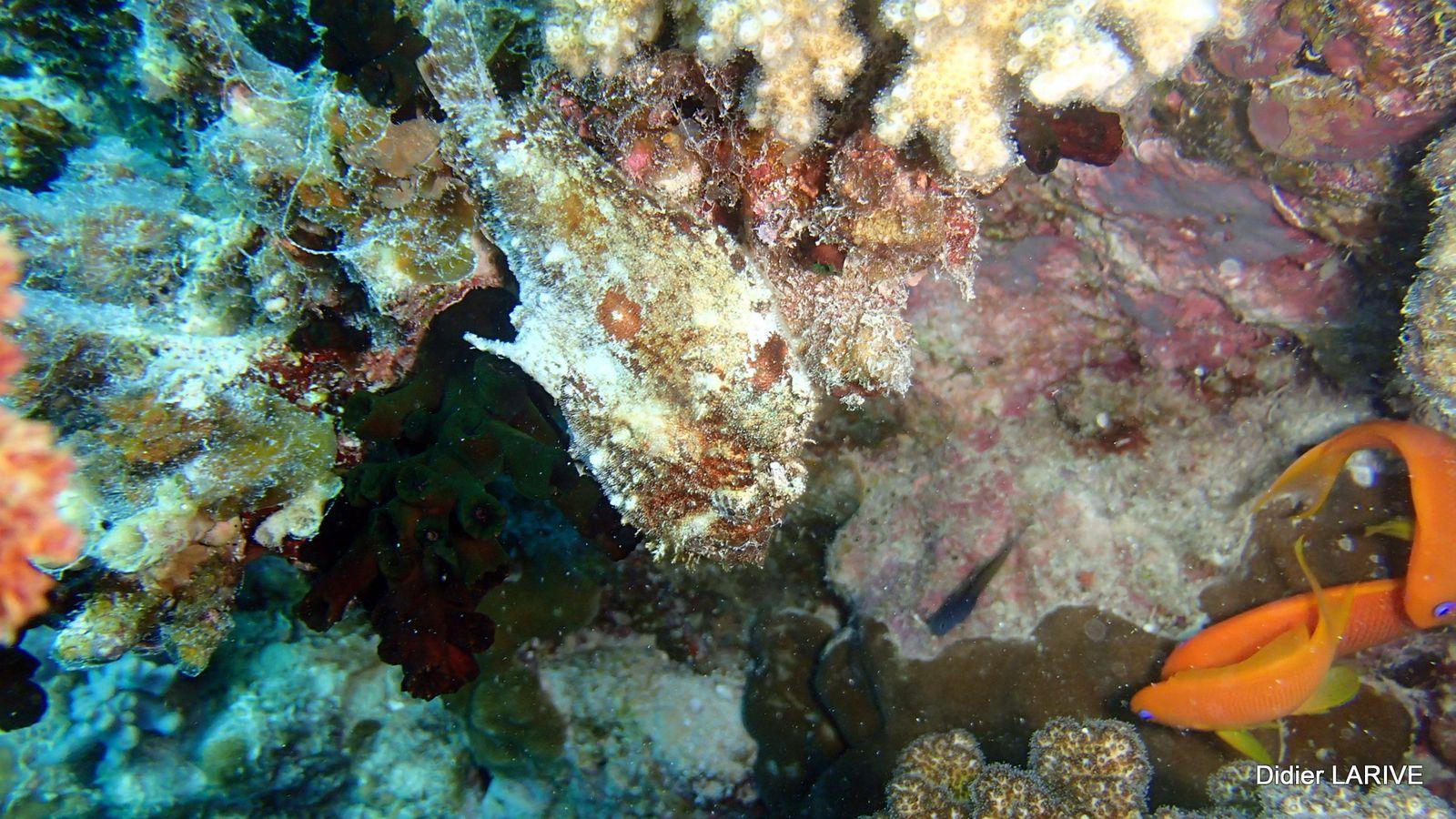 Le reconnaitrez-vous avec ses 2 yeux orange ? Le poisson pierre, un des plus dangereux à cause de son épine dorsale pourvue de dards venimeux !!