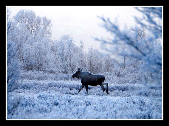 Un Elan dans le petit matin glacé de la Taïga